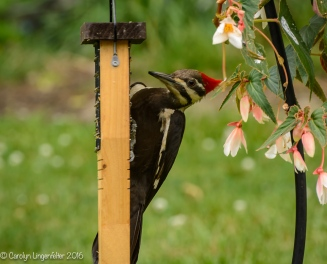 2016_06_15_backyard birding_back yard buffet_0079