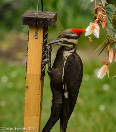 2016_06_15_backyard birding_back yard buffet_0084