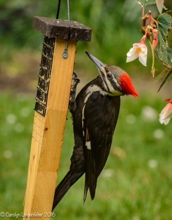 2016_06_15_backyard birding_back yard buffet_0088
