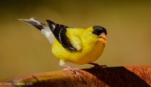 An American goldfinch at the birdbath