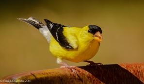 An American goldfinch at the birdbath