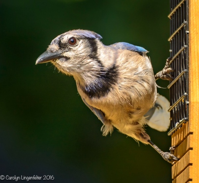 A blue jay that needs grooming!