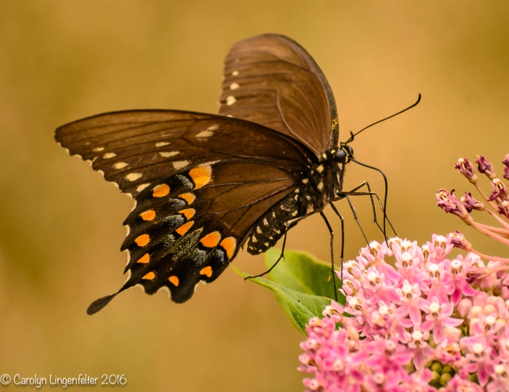 2016_07_30_Back yard buffet_butterflies_0031