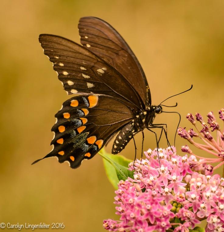 2016_07_30_Back yard buffet_butterflies_0033