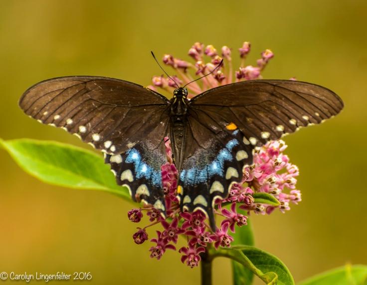 2016_07_30_Back yard buffet_butterflies_0059-Edit
