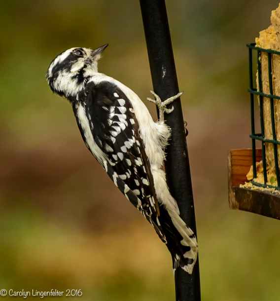 2016_08_16_backyard birding_back yard buffet_0013