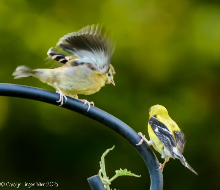 2016_08_17_backyard birding_back yard buffet_0010