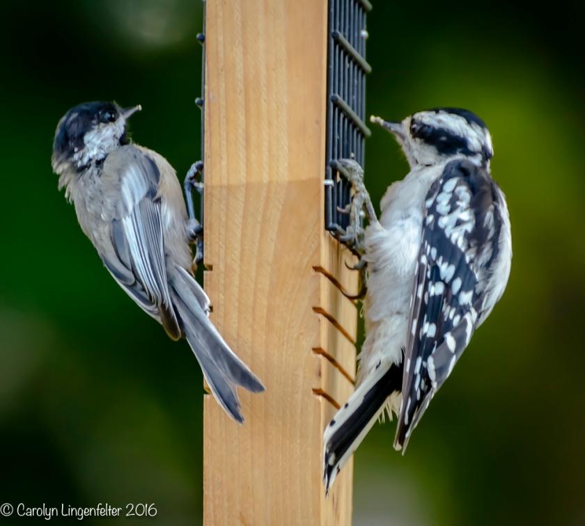 2016_08_17_backyard birding_back yard buffet_0038