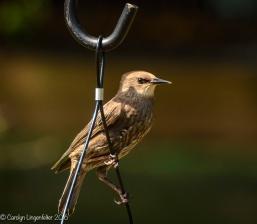 2016_08_24_back yard_Back yard birding_0031
