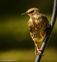 2016_08_24_back yard_Back yard birding_0039