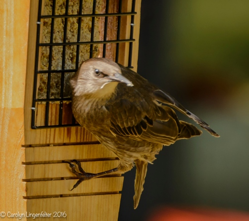 2016_08_24_back yard_Back yard birding_0048