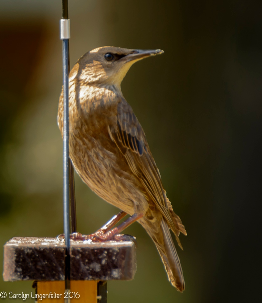 2016_08_24_back yard_Back yard birding_0066