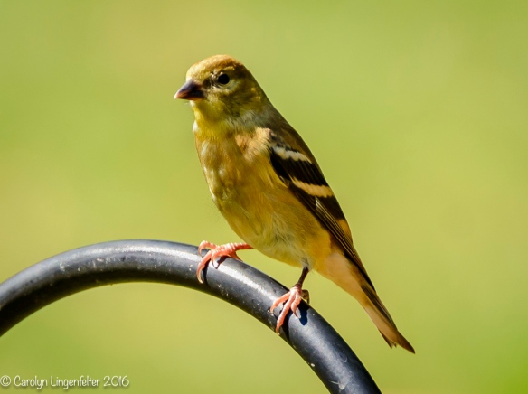 Goldfinch getting it's autumn feathers