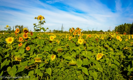 2016_09_13_road-trips_sunflowers_0001