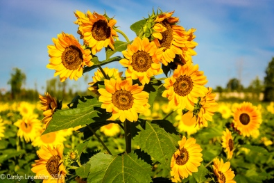 2016_09_13_road-trips_sunflowers_0002