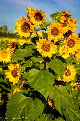 2016_09_13_road-trips_sunflowers_0004