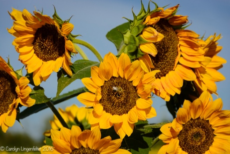2016_09_13_road-trips_sunflowers_0009