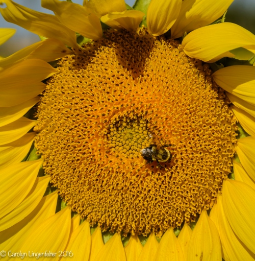 2016_09_13_road-trips_sunflowers_0028