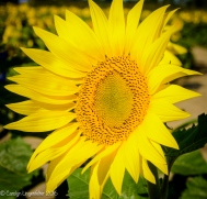 2016_09_13_road-trips_sunflowers_0045