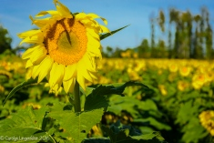 2016_09_13_road-trips_sunflowers_0054