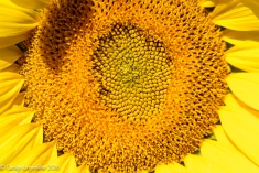 2016_09_13_road-trips_sunflowers_0081