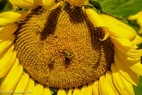 2016_09_13_road-trips_sunflowers_0099