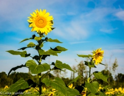 2016_09_13_road-trips_sunflowers_0103