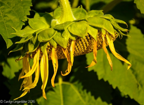 2016_09_13_road-trips_sunflowers_0105