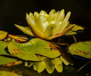 Lily pond reflection