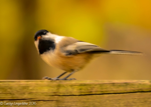 Chickadee with a seed