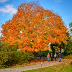 Same maple, other side