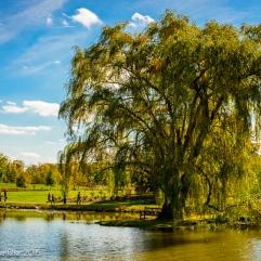 Golden Willow in Lotus Pond