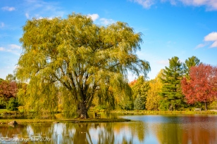 Golden willow tree again