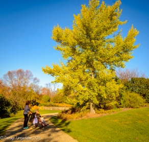 The gingko tree is still green but beginning to show more yellow.