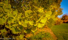 Close up of the gingko