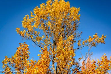 Top of the upright tulip tree