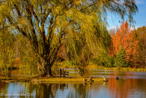 Golden willow tree by Lotus Pond