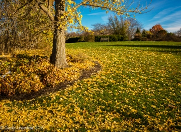 Gingko leaves on the ground