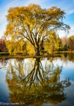 Golden willow reflected in Lotus Pond