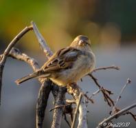 2016_12_07_back-yard-birding_004