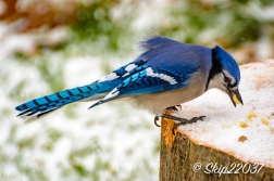 2016_12_08_back-yard-birding_015