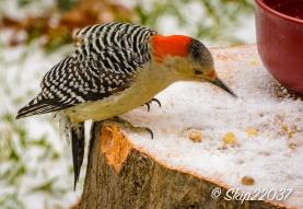 2016_12_08_back-yard-birding_026