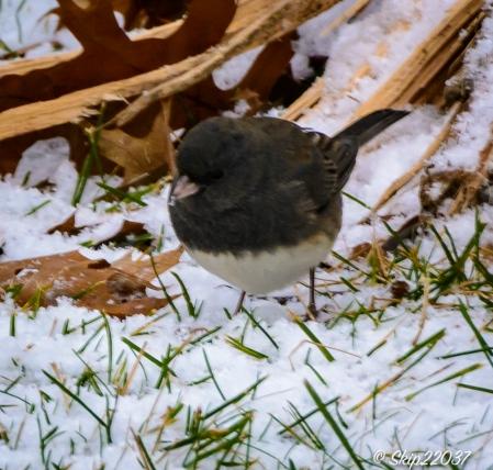 2016_12_08_back-yard-birding_031