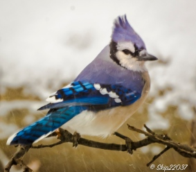 2016_12_09_backyard-birding_snowy-day_0018