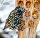 Starling, feasting on peanut butter