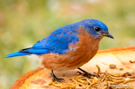 A male standing amid the mealworms.
