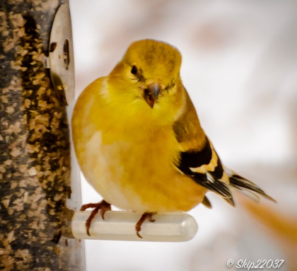 Goldfinch in winter garb