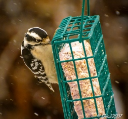 A determined downy woodpecker