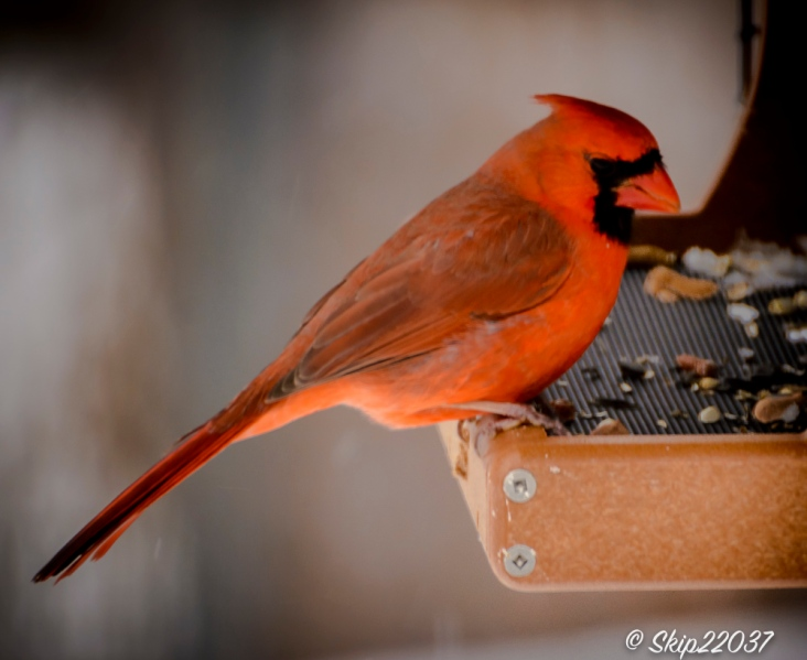The Northern cardinal (male) was a happy visitor.