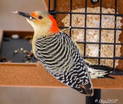 Redbellied woodpecker (female)